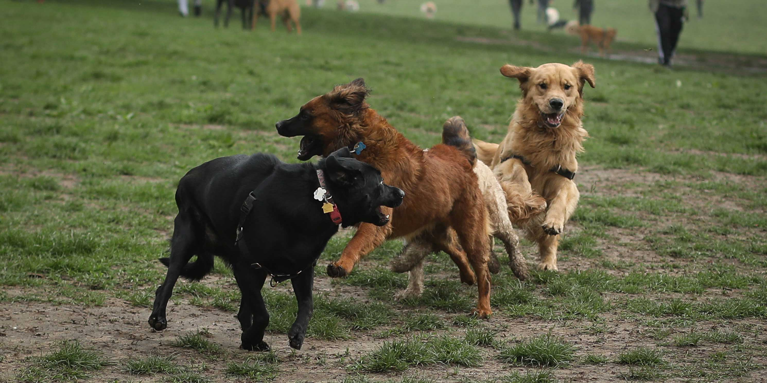 dogs run on the grass in park