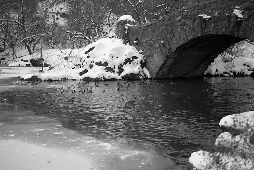 ducks float in a pond in Central Park in Winter